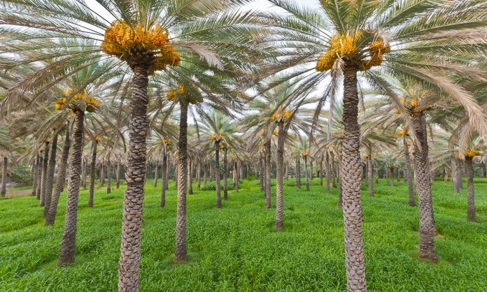 Ministry Holds Auction for Date Palm Produce from Research Stations, Farms